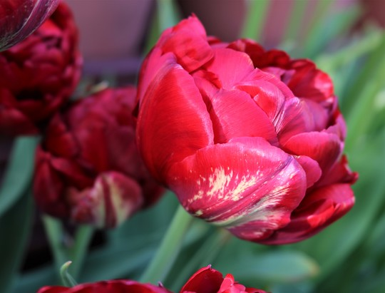 Double Red Tulip