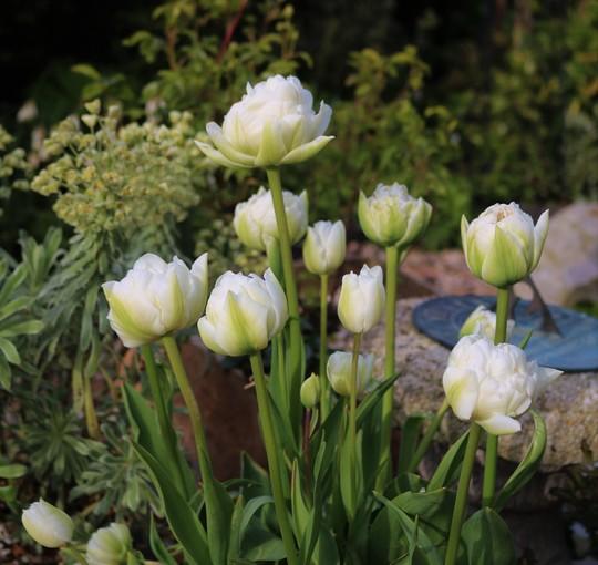 Double white tulips