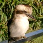 Friendly Kookaburra