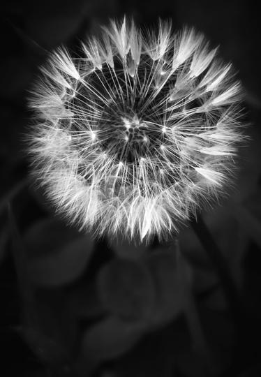 Dandelion B&W (Taraxacum officinale (Dandelion))