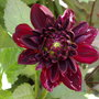 bishop of canterbury dahlia