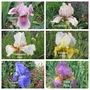 Bearded Iris flowering now (Iris)