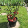 Crinodendron hookerianum 2 (Crinodendron hookerianum (Chilean Lantern Tree))