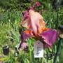 Tall Bearded Iris 19H7 (Iris)