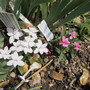 Rhodohypoxis bauri 'LilyJean' (For my File) (Rhodohypoxis baurii)