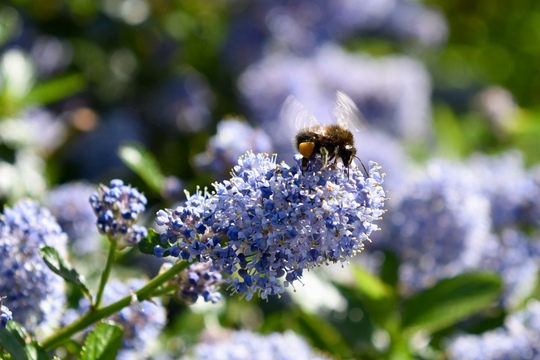 Busy bee (Ceanothus burkwoodii (California lilac))