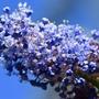 Ceanothus  (Ceanothus burkwoodii (California lilac))
