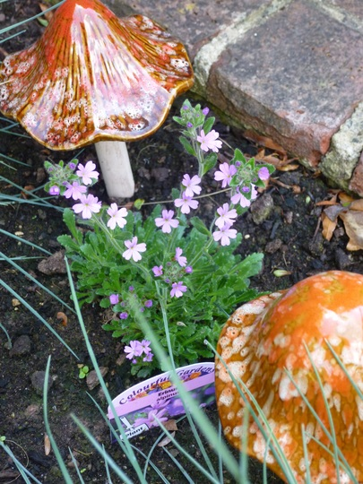 Erinus alpinus (Fairy Foxglove)