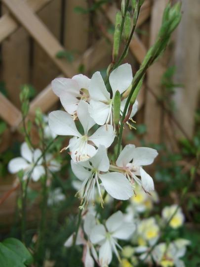White Gaura. (Gaura lindheimeri (Gaura))