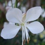 Gaura_bloom