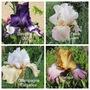 Iris, today's opening (Iris)