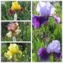 Bearded Iris variety crosses (Iris)