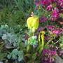 Sarracenia flava  (Sarracenia flava (Yellow Pitcher Plant)acenia)