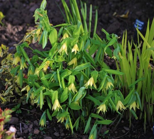 Uvularia grandiflora (Merry Bells) (Uvularia grandiflora (Large merrybells))