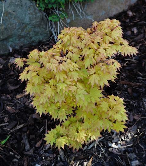 Acer shirasawanum 'Jordan' (Acer shirasawanum)