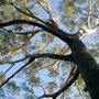 Under the  Gum tree