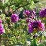 Rhododendron_purple_splendour_2019_copy