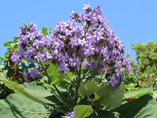 Wigandia bloom