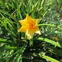 First Hemerocallis (Hemerocallis lilioasphodelus (Lemon Lily))