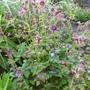 Geranium pheum Samobor