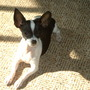 Katie-9 mo 3 lb Chihuahua