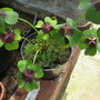 Oxalis tetraphyla 'Iron Cross' (Oxalis tetraphylla (Good Luck Leaf))