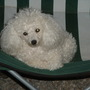 Tiki-9 yr old 4.5 lb Poodle