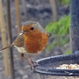 This little robin is feeding babies at the moment.