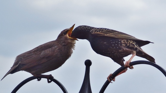 Starlings feeding their youngsters.