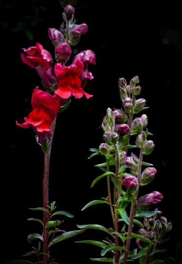 Red Snapdragon (Antirrhinum majus)