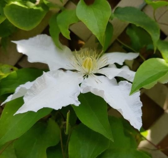 White Clematis.....