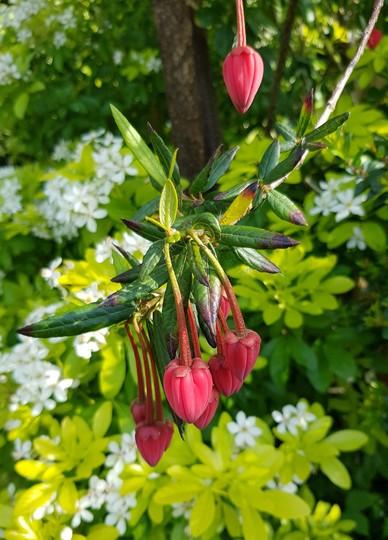 Crinodendron hookerianum... (Crinodendron hookerianum (Chilean Lantern Tree))