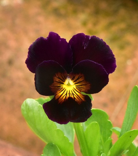 Viola 'Frilly Bliss'