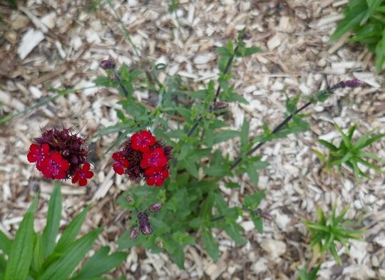 Dianthus cruentus - 2019 (Dianthus cruentus)