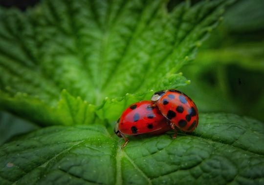 Ladybirds are not all Ladies?