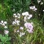 Allium roseum.