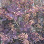 Cotinus coggygria Royal Purple flowers (Cotinus coggygria (Smoke bush))