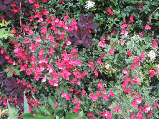 Salvia greggi 'Royal Bumble' (Salvia greggii (Autumn sage))