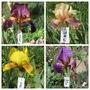 Bearded Iris 19H11 to 19H14 (Iris)