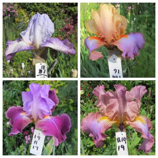 Bearded Iris 19H15 to 19H19 (Iris)