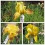 Iris Cross 19H18 (Iris)