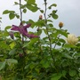 Rose buds and Clematis heading skywards!