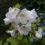 Polemonium White Pearl