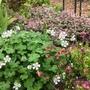 Geranium renardii, Geum and Salvia Tricolour