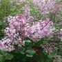 Lilac dwarf