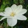 Guernsey Cream clematis