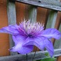 Multy blue clematis