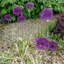 Allium_purple_sensation_2019