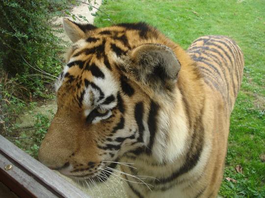 Amur Tiger Linton Zoo