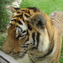Amur_tiger